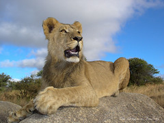 Young male lion on top of boulders