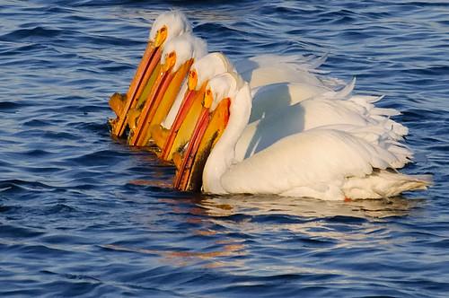 lake water pond nikon colorado fortcollins pelican americanwhitepelican pelecanuserythrorhynchos d90 sigma70300 riverbendponds fortcollinsnaturalarea coloradofort collinsriverbend pondsnikond90 waterenvirons fcmdscurbanwildlifechallenge