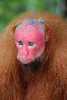 Red Uakari | by nomadphoto