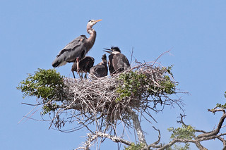 Why Heron Nests are so Big | by Keith Carlson