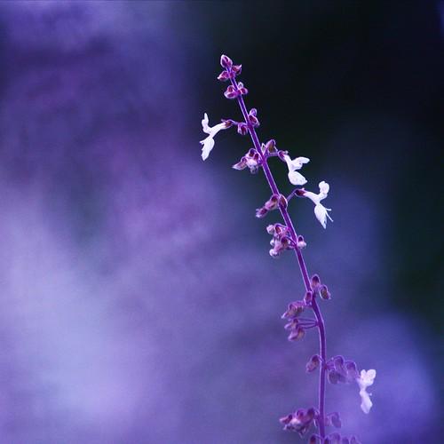 flowers plants postprocessed square squareformat salvia iphoto squarecrop picnik botanicgardens scarboroughfair colourpurple simongarfunkle natureycrap adjustedcolour hpps canoneos450d canonefs55250mmf456is perfectpurplesaturdays 365oneyearon withasong♫♪♫ rememberingtoby♥