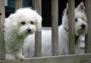 White Dogs Rule | by katieb50