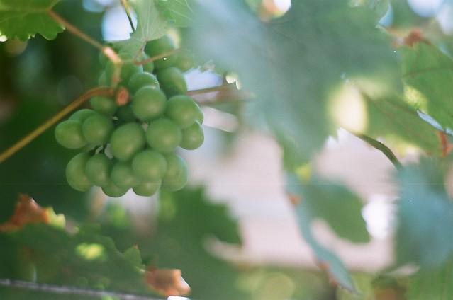 Unripe grape in FOÇA, the Aegean small town