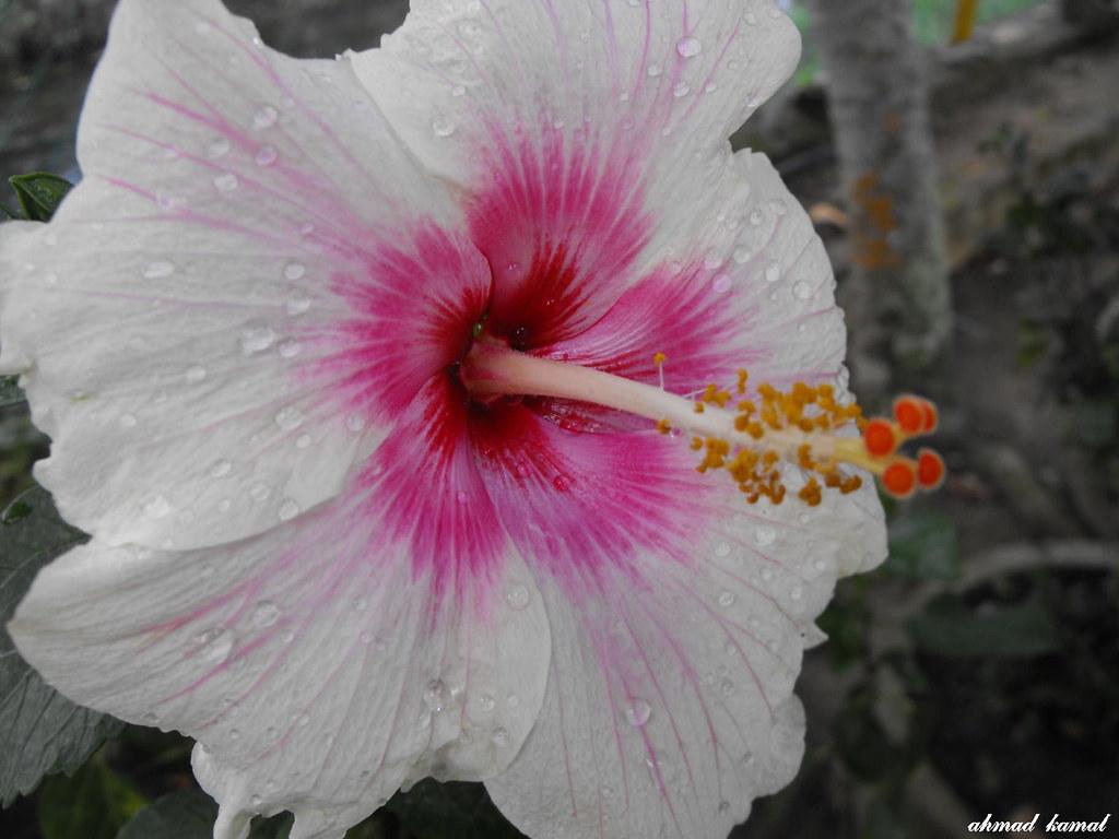 Bunga Raya Bunga Kebangsaan 2 Ahmad Kamal Flickr