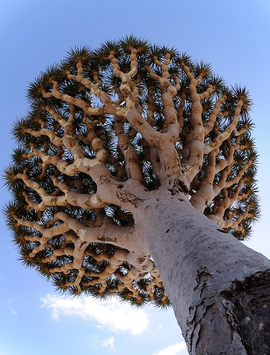 Dragon's Blood tree | by Stefan Geens