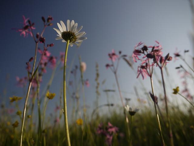 Daisy Daisies Margeriten Flower Meadow Blumen Nature Spring