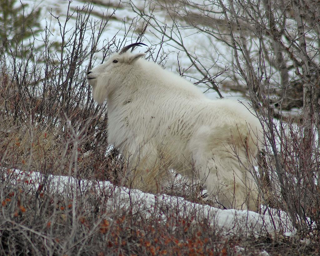 Mountain Goat - 0051c
