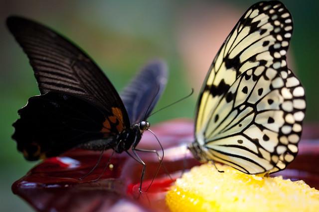 Butterfly Palace 5905