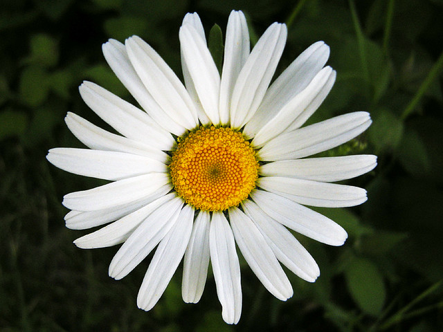 Fib About Daisies >> Fib About Daisies Oh My Daisies How Do You Manage To Tra Flickr