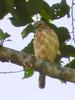 Sulawesi Goshawk (immature) - Accipiter griseiceps, Gunung Ambang, N Sulawesi, Indonesia, 2011-04-28 (3 of 10).jpg by maholyoak