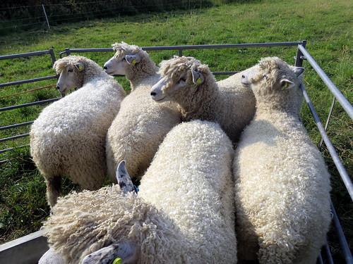 pickwick-fleece-on-the-hoof3 | by RJRS
