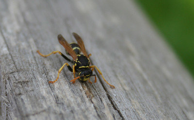 a black and yellow wasp with orange antennae and wings scraping wood off a board