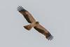 Águia-calçada, Booted eagle (Aquila pennata) by Vasco VALADARES