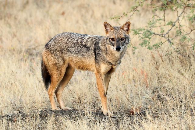 Golden Jackal - Canis aureus