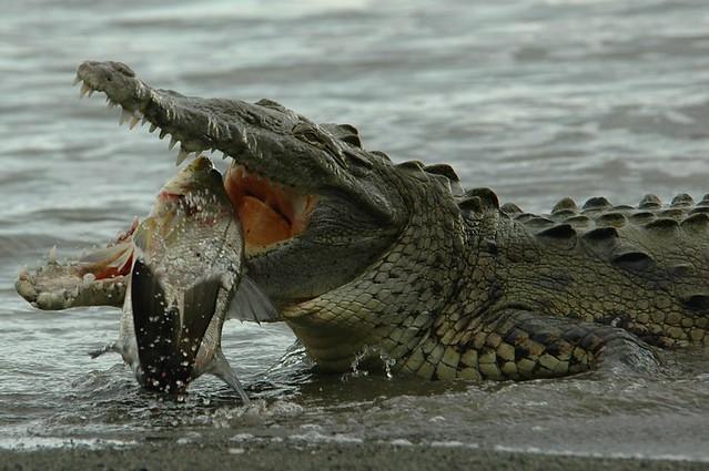 Crocodile and Fish, part 5