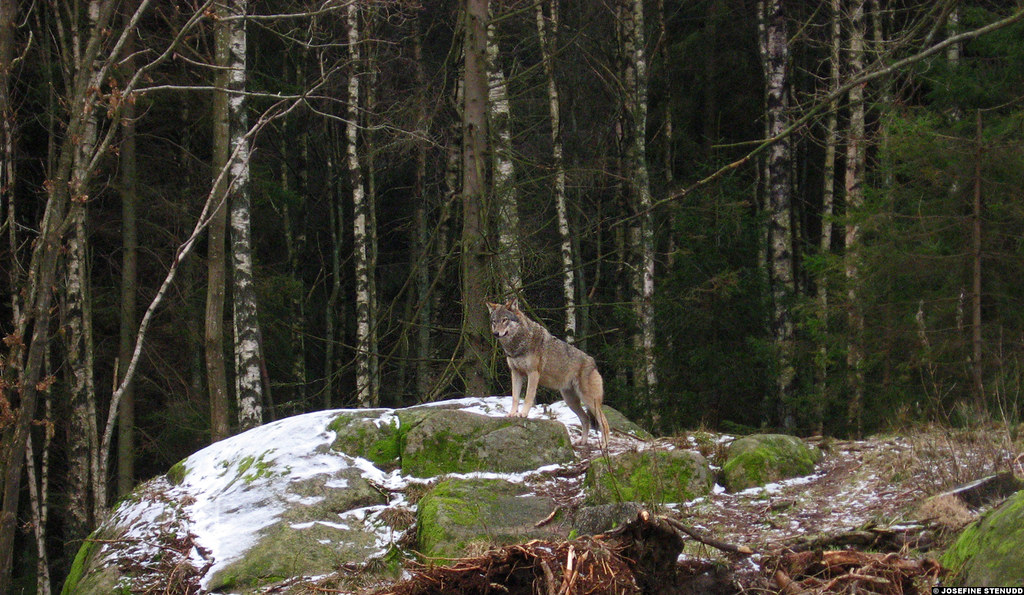 20070216 2 Gray Wolf Canis Lupus At Nordens Ark Sweden