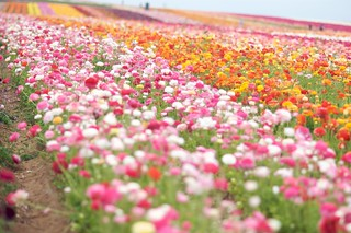The Flower Fields ~ Carlsbad, California