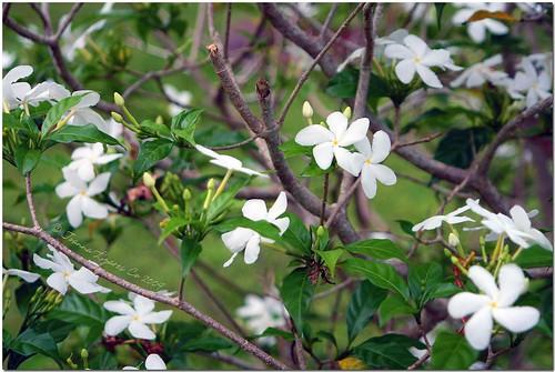 park flowers white mountain nature garden interestingness philippines resort explore eden pk davao lolas top500 davaocity explored davaodelsur pinoykodakero flickristasindios joliz garbongbisaya