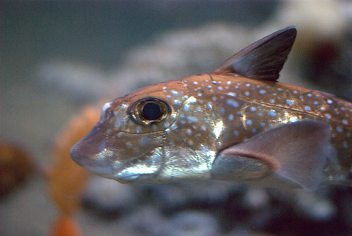 Ratfish -- never saw one on a dive   by Ed Bierman