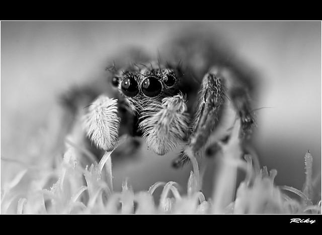 Araña II - Spider II