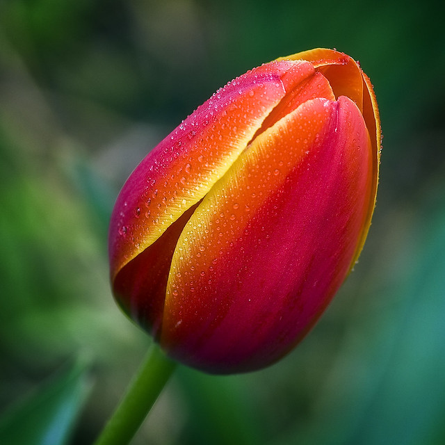 One of our Backyard Tulips