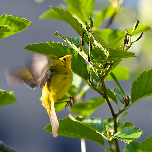 On the Wing Wilson's Warbler | by mnlamberson