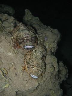 Scorpionfish with Pyjama Chromodoris