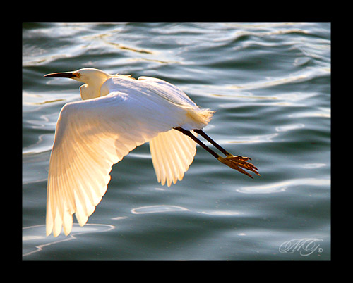 california above lighting county light sunset orange sun sunlight white lake motion reflection bird nature wet water beautiful birds animal animals canon reflections outdoors photography daylight fly flying wings movement afternoon crossing natural snowy wildlife aviation united flight over wing lakes feathers pass feather peaceful neighborhood southern socal passing states through behind gonzalez flapping oc across egret flap wingspan marcie irvine woodbridge egrets marciegonzalez marciegonzalezphotography