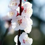 杏/Prunus armeniaca