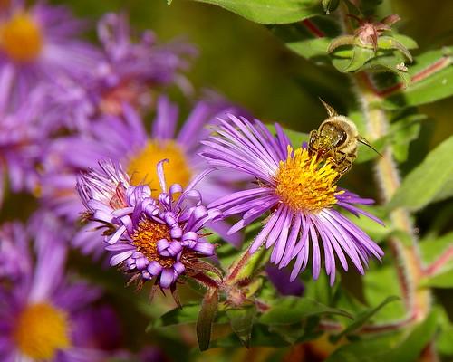 flowers nature wildlife bee views 60 dragongold vosplusbellesphotos newenvy