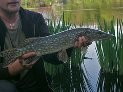 Northern Pike - Hecht | by Habakuks Tagebuch