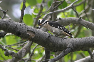 Hairy Woodpecker, Yuba Pass, CA, 2005-06-15 (1 of 1).jpg | by maholyoak