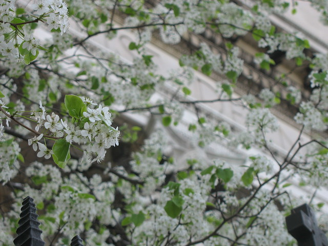 Flowering tree in front of the Church of Notre Dame (Morningside Dr. & 114th Street)