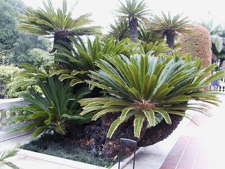 Cycas Revolta, Sago Cycad Palm, Entry Garden at Art Museum, Huntington Library | by DominusVobiscum