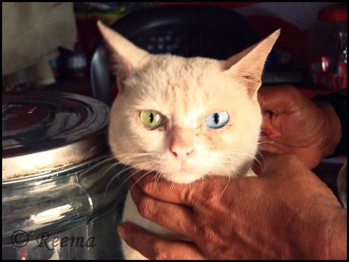 Odd Eyed Cat | by Rima_B