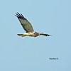 Eastern Marsh-Harrier เหยี่ยวทุ่ง by somchai@2008