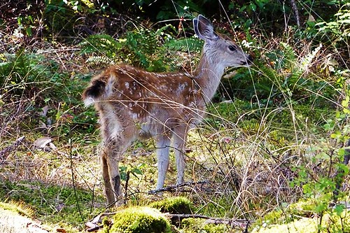 Deer Fawn at Seal Beach, Miners Bay, Mayne Island, British Columbia