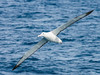 Southern Royal Albatross (Diomedea epomophora) by David Cook Wildlife Photography