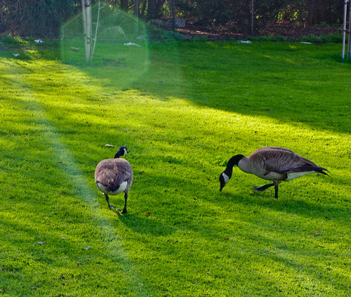 park huntingtonbeach geese green grass spring huntingtonbeachcentralpark
