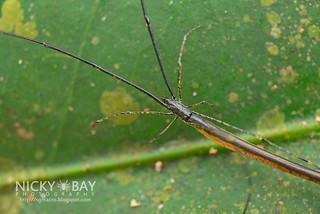 Twig Spider (Ariamnes sp.) - DSC_5520