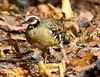 Bar-backed Partridge 3 by C&P_Pics