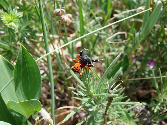 LADYBIRD SPIDER (4)