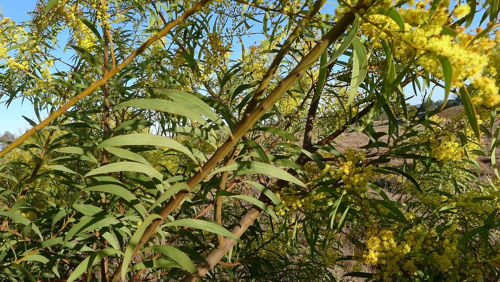 Acacia Rubida Branch Red Stemmed Wattle Acacia Rubida St Flickr