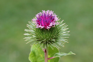 Greater Burdock | by nick Stacey