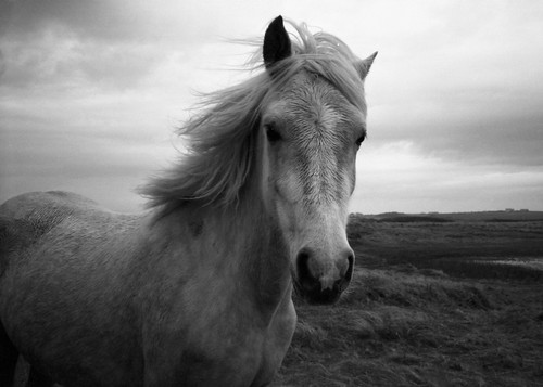 white horse   by auspices