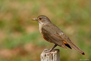 Sabiá-laranjeira | Rufous-bellied Thrush (Turdus rufiventris) | by Rosa Gamboias/ on vacation