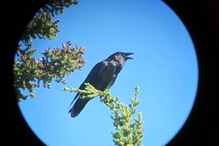 Common Raven, 6/15/2013, Route 1, Yukon