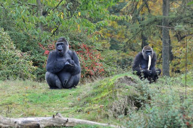 Westliche Flachlandgorillas im Apenheul