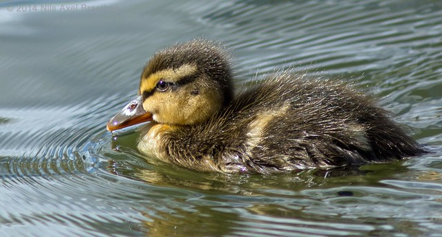 J77A0858 -- The first Duckling in 2014