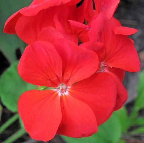 Pelargonium x hortorum (red zonal geranium) (Heath, Ohio, USA) 1 | by James St. John